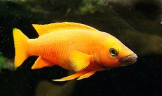 Leleupi Cichlid for Sale Online Aquarium Fish For Sale, Glass Aquarium, Amphibians, Reptiles, Cichlid Fish, Lake Tanganyika, Fish Stock, African Cichlids, Tropical Fish