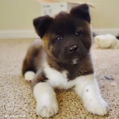 From @katana_the_akita: So tiny yet so destructive #cutepetclub [source: http://ift.tt/2ob43Ni ]