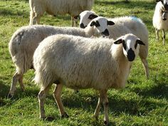 Razas de oveja de aptitud láctea Oveja Raza Churra