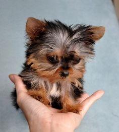 So Cute!! Teacup Yorkie