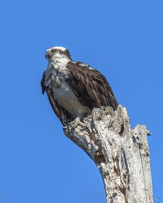 2015 Photograph, Osprey or Fish Hawk (Pandion haliaetus) near Old Nest , Occoquan Bay NWR, Woodbridge, Virginia. © 2015.