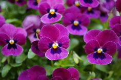 spring colors #viola #pansy
