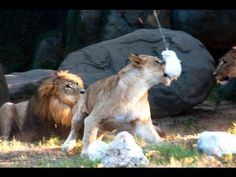 Lions Jump for Zip Line Treats - YouTube