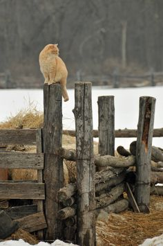 Country in winter brown Farm Animals, Animals And Pets, Cute Animals, Crazy Cat Lady, Crazy Cats, I Love Cats, Cute Cats, Cat Dog, Red Cat