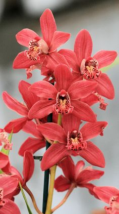 Red Cymbidium orchids