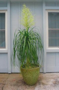 1000 images about ponytail palms on pinterest palms for Ponytail palm cats
