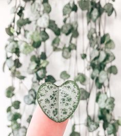String of hearts – House Plants Planting Succulents, Planting Flowers, Plant Aesthetic, Rare Plants, Cactus Y Suculentas, Green Life, Outdoor Plants, Flower Boxes, Plant Care