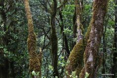 Lichen covered trees by islandmommacanarias, via Flickr
