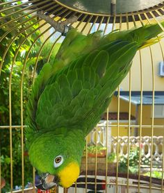 """And this is called """"The Keko pose"""" its all about chilling and staying up side down for several hours. Intresting bird Keko  #amazon #amazonparrot #green #singing #great #bird #birds #birdsofinstagram #animal #animallovers #animals #timnehafricangrey #instaparrot #instabird #photooftheday #parrot #parrots #parrotsofinstagram by timi_the_timneh http://www.australiaunwrapped.com/"""