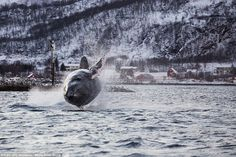 Nature photographer Karl-Otto Jacobsen took this shot of a Humpback whale outside Tromsø, NORWAY, on November 2014 Orcas, Humpback Whale Pictures, Karl Otto, Tonne, Whale Watching, Ocean Life, Sea Creatures, Under The Sea, Nature Photos