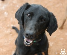 Meet our spunky Featured Pet, Priscilla! This loving and loyal black lab wants nothing more than to be your best friend forever. She has plenty of energy and is happiest outside walking, swimming, playing, or hiking! She gets along well with other dogs, but her people always come first.   Could you be Priscilla's adventure buddy? She flies home for free anywhere in the U.S. or Canada!