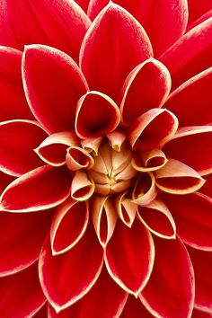 Red Petaled Flower (Close Up) flower flowers floral flower images floral images flower pic Flower Petals, Floral Flowers, Red Flowers, Beautiful Flowers, Dahlia Flowers, Blue Dahlia, Flower Art, Florals, Flower Images