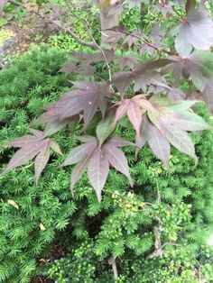 Japanese Maple Companions: What To Plant With Japanese Maple Trees - They add elegance to any garden when planted alone, but if you are looking for companions for Japanese maples, you'll have many choices. Look to this article for some ideas of what to plant with Japanese maple trees.