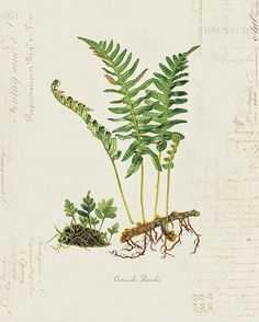 Vintage Botanical Fern Plant on French Ephemera Print Antique Illustration, Botanical Illustration, Illustration Art, Illustrations, Vintage Botanical Prints, Botanical Drawings, Botanical Art, Antique Prints, Sibylla Merian