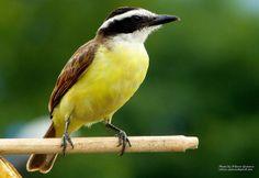 Bichofue - Colombian bird