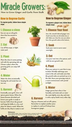 How to Regrow Garlic and Ginger from the Stalk (infographic).
