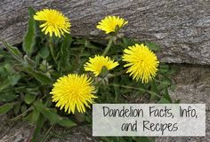 Dandelion Facts, Info, and Recipes