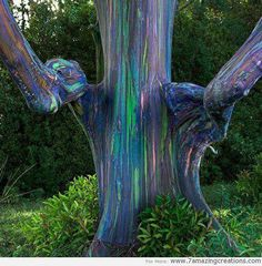 A Rainbow Eucalyptus Tree