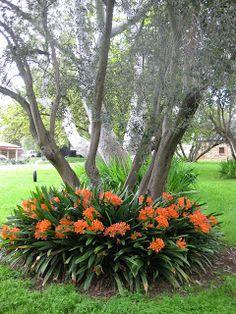 Clivia under olive tree