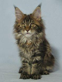 ♔ Maine Coon kitten