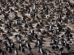 Eine Kormoran-Kolonie im Beagle-Kanal vor Ushuaia.