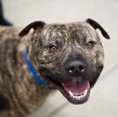 Hi! Over here! I'm Rudy! The volunteers say I'm one of the most handsome, brindle boys they have ever seen!  I'm gentle yet energetic, loving yet not needy, young yet not a puppy. In other words, I'm perfect for you. I'm part of the doggy playgroup at the shelter, which means I'm good with most other dogs. I love romping with my buddies at the shelter, but am ready to find my forever home. Rudy is ACR# 24617 at Oakland Animal Services.