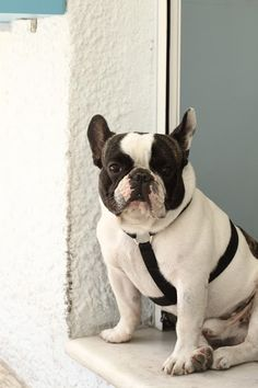 Awesome French bulldog