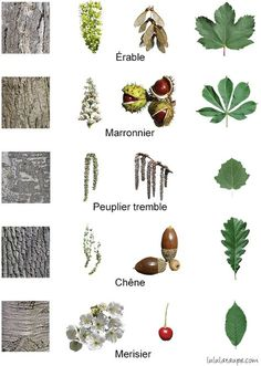 The trees of the forest, flowers, fruits, bark and leaves: maple, marronni .