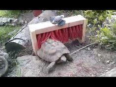 Red Footed Tortoise, Cute Tortoise, Tortoise House, Tortoise Habitat, Tortoise Table, Baby Tortoise, Reptile Habitat, Sulcata Tortoise, Tortoise Run