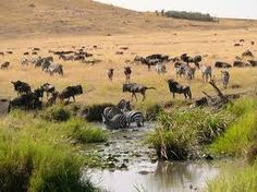 wild animals of kenya - A herd of Wilde Beast Google Search