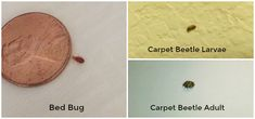 Bed Bugs and Carpet Beetles Carpet Bugs, Bed Bugs Pictures, Household Bugs, Termite