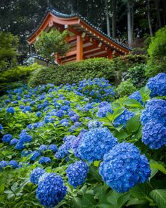 June in Japan signals the rainy season (Tsuyu) and the blooming of Hydrangeas (Ajisai #紫陽花 ). One if the best places in Kyoto to view them is Mimurodo-ji ( #三室戸寺 )in Uji