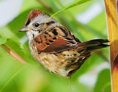 Swamp Sparrow (Melospiza georgiana) - Magothy Bay, October 2013