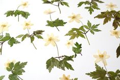 Anemone Flower, Ranunculus, Candle Making, Soap Making, Dried Flowers, Plant Leaves, Wedding Decorations, Scrapbooking, Garden