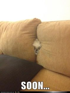 funny dog pictures - SOON... (my Shih Tzu does the same thing!)