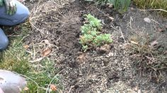 How to prune and divide a Chrysanthemum plant. Part 2