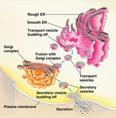 Science of Consciousness:      The Anatomy of Cell – The Protoplasm or Cytoplasm consists of a network or honey-combed reticulum called Endoplasmic Reticulum. It is a network of sacs and tubules that act as channels for materials passing through the Cell. This network is described as Spongioplasm. The homogeneous substance contained in the meshes of the network is known as Hyaloplasm – Bhavanajagat