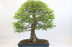 Trident Maple Bonsai Tree available from All Things Bonsai, Sheffield, Yorkshire