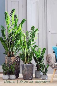 Замиокулькас - элегантный джентльмен? | Всё об интерьере для дома и квартиры