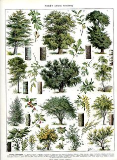 """Bäume - botanischen Drucken - Antique French Lithografie 1898 die - 12.1 """"x 9,2 Zoll - A13"""