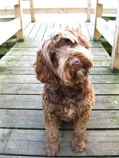 Portuguese Water Dog Information and Pictures
