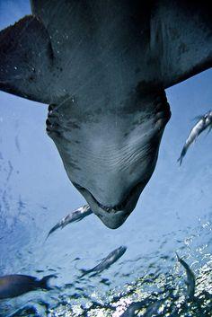 Sand Tiger Shark (by Viking-)