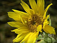 Sunflower And Spider 1 Photograph by Chalet Roome-Rigdon - Sunflower And Spider 1 Fine Art Prints and Posters for Sale