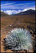 Silversword, an endemic plant, in Haleakala crater near Red Hill. Haleakala National Park.  On Maui
