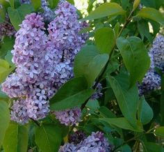 New Hampshire- The purple lilac, Syringa vulgaris, is the state flower of New Hampshire.     New Hampshire historian Leon Anderson writes in To This Day that the purple lilac was first imported from England and planted at the Portsmouth home of Governor Benning Wentworth in 1750. It was adopted as our state's flower in 1919.