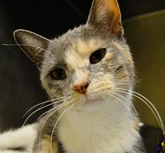 Name: Ruby Age: 1-2 years Breed: DSH How I Arrived At NHS: I was found as a stray and brought to Northwoods to find my forever home. Note From Ruby: Hi there! The shelter folks say that I live up to my name and am a real gem. I am known around here for a loud motor-what can I say, I know what I like! I enjoy being pet, telling you all about my hopes and dreams, and spending time getting to know new people.
