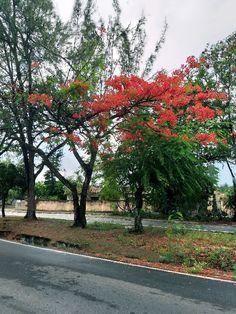 Avenida das Alagoas Delonix Regia, Sidewalk, Side Walkway, Walkway, Walkways, Pavement