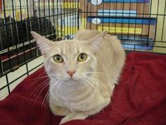 Peaches is an adoptable Tabby - Orange Cat in Los Angeles, CA. DOB:8/09 Peaches is what her foster mom calls an 'A+' cat. She is sweet, amazingly soft, beautiful, friendly, and very affectionate. Jus...