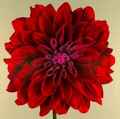 Jane Willis Taylor. Red Dahlia, 2004