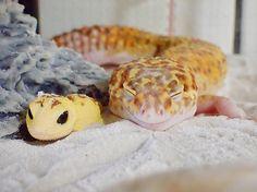 """Auf dem Instagram-Account von 589_tomoziehtderzeit ein kleinerLeopardgecko namens """"Amber"""" alle Blicke auf sich. Mit seinem eigenen Profilhat der Winzling dort…"""